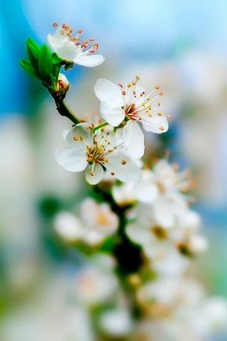 Weiße Blumen iPhone Wallpaper