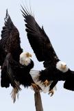 Zwei Adler