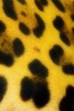 ジャガー スポット