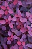 Violett Blätter