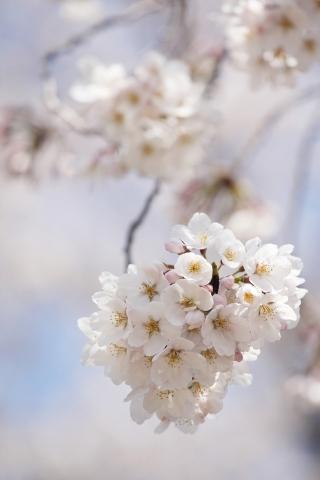 桜のクローズ アップ iPhoneの壁紙