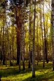 Blattlose Birkenwald