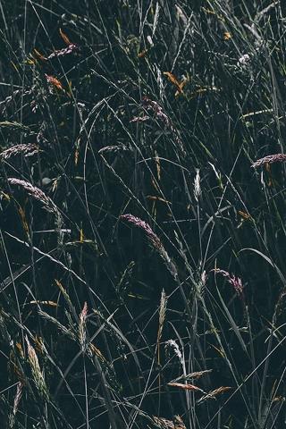 Roggen Blume grün dunkel Natur iPhone Wallpaper