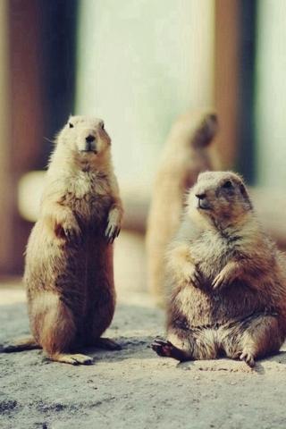 Braune Eichhörnchen Tier zu spielen iPhone Wallpaper